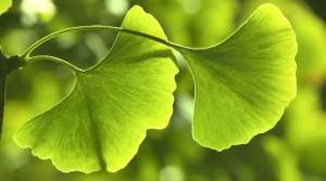 2Ginkgo-Blaetter-grun